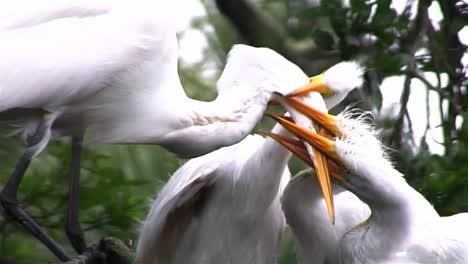 Una-Madre-Grulla-Alimenta-A-Tres-Polluelos