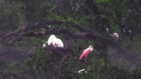 Una-Espátula-Rosada-Y-Otras-Aves-Se-Refugian-De-La-Lluvia
