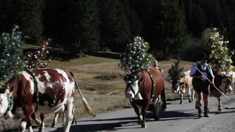 Tyrollean-cattle-decorated-walk-up-a-road-in-the-Alps