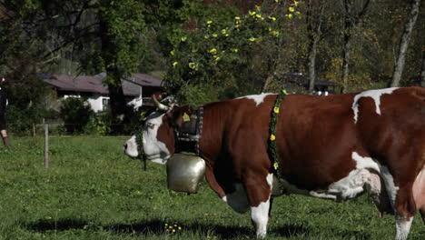 Tiroler-Rinder-Weiden-Auf-Einem-Feld-In-Den-Alpen