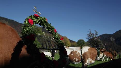 Tiroler-Rinder-Weiden-Auf-Einem-Blumengeschmückten-Feld-In-Den-Alpen