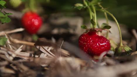 Fresas-Crecen-En-Un-Campo