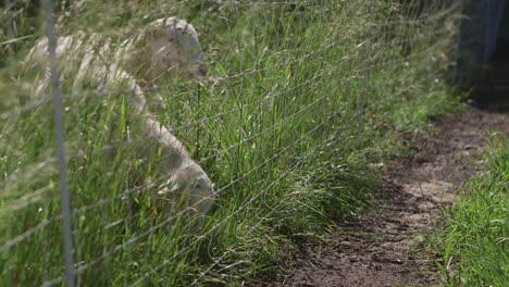 Las-Ovejas-Y-Los-Corderos-Pastan-En-Un-Campo-Verde-De-Hierba-Alta-Junto-A-Una-Valla-De-Alambre-De-Púas