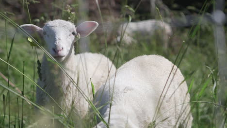 Sheep-and-lambs-graze-in-a-green-field-of-tall-grass-1