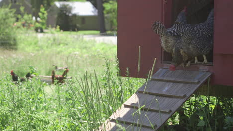 Chickens-sit-outside-their-coop-on-the-farm