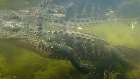 An-amazing-shot-of-an-alligator-swimming-underwater-2