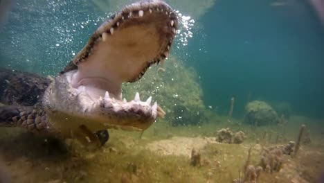 An-alligator-thrashes-underwater-and-catches-a-fish