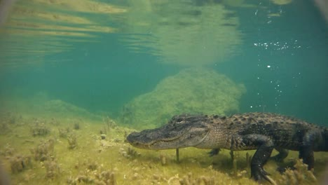A-dangerous-shot-approaching-an-alligator-underwater-1
