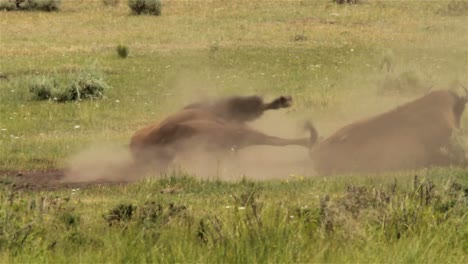 Bison-roll-around-in-the-dirt-in-Yellowstone-National-park