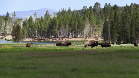 Buffalo-graze-in-the-distance-in-Yellowstone-National-park