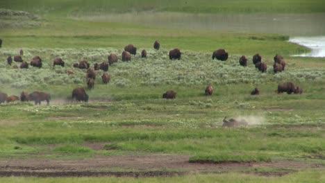 Búfalos-Pastan-En-La-Distancia-En-El-Parque-Nacional-De-Yellowstone-1