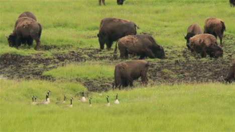 Buffalo-graze-and-butt-heads-in-the-distance-in-Yellowstone-National-park