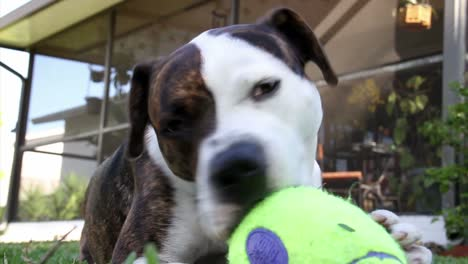 A-dog-plays-with-a-squeaky-toy