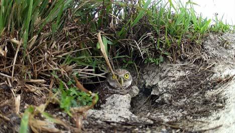 Eine-Grabende-Eule-Kommt-Aus-Ihrem-Nest-Und-Schaut-Sich-Um