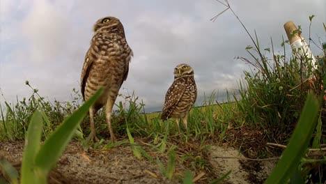 Zwei-Grabende-Eulen-Bewachen-Ihr-Nest