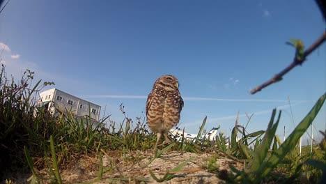 Eine-Grabende-Eule-Bewacht-Ihr-Nest-1
