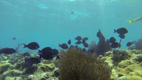 Beautiful-tropical-fish-swim-around-a-reef-underwater