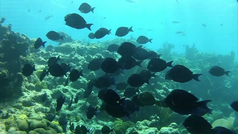 Beautiful-tropical-fish-swim-around-a-reef-underwater-1