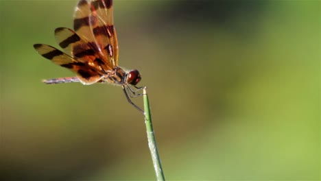 A-dragonfly-poses-atop-a-plant