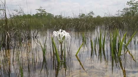 A-lily-grows-in-a-swamp-in-the-Florida-Everglades