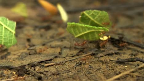 Leafcutter-ants-move-leaves-across-a-forest-floor