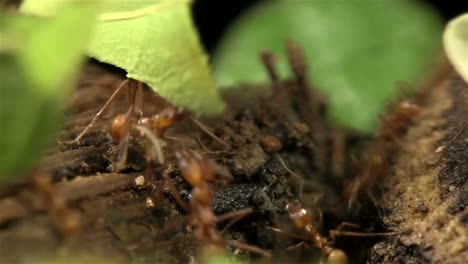 Leafcutter-ants-move-leaves-across-a-forest-floor-1