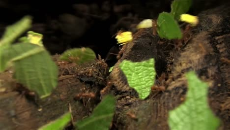 Leafcutter-ants-move-leaves-across-a-forest-floor-2
