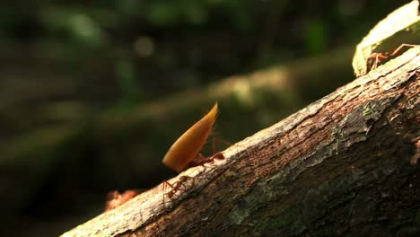 Leafcutter-ants-move-leaves-across-a-forest-floor-3