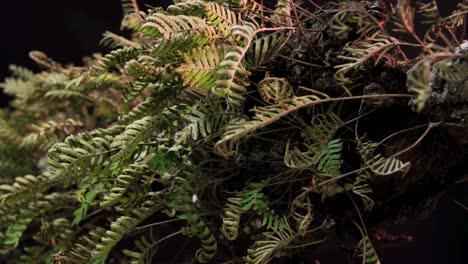 A-time-lapse-shot-of-ferns-unfolding-against-a-black-backdrop-1