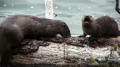 Two-otters-play-on-a-branch