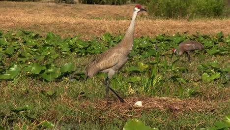 A-sandhill-crane-walks-through-fields