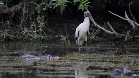 An-alligator-moves-through-a-swamp-near-a-wood-stork