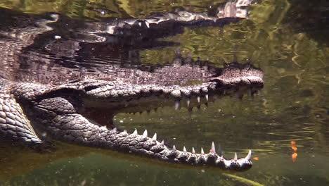 Remarkable-shot-of-an-alligator-swimming-underwater-2