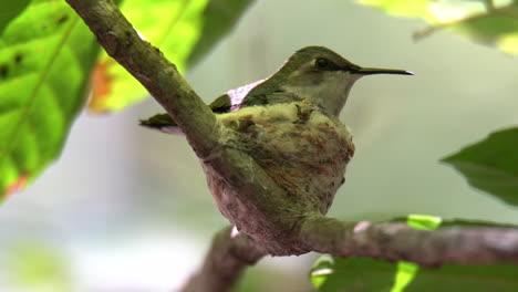 A-bee-hummingbird-female-rests-in-her-nest-in-Cuba
