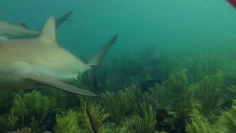 A-reef-shark-swims-through-a-coral-reef-in-the-Caribbean-1