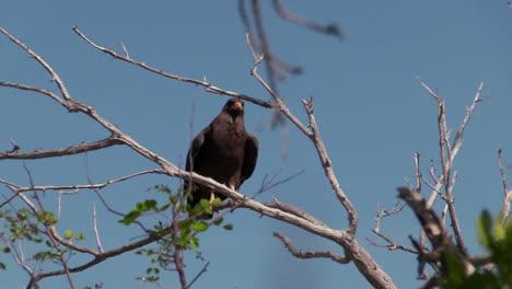 A-Cuban-black-hawk-sits-on-a-tree-branch