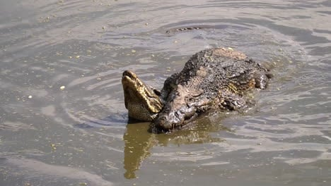 Crocodiles-mate-in-muddy-water-in-Cuba