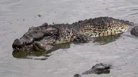 Crocodiles-mate-in-muddy-water-in-Cuba-1