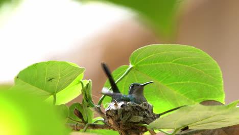 A-Cuban-emerald-hummingbird-female-lands-on-her-nest