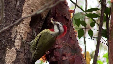 Un-Pájaro-Carpintero-Verde-Cubano-Come-Un-Insecto