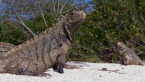 Excelente-Foto-De-Iguanas-En-Una-Playa-De-Arena-Blanca
