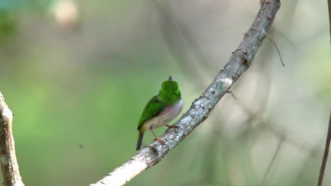 The-Cuban-tody-bord-poses-on-a-small-branch