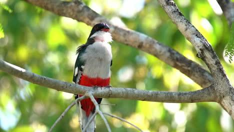 Close-up-of-a-Cuban-trogon-bird