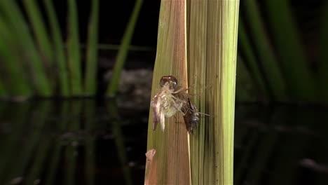 A-dragonfly-undergoes-a-birth-metamorphosis-1