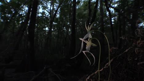 Eine-Geisterorchidee-Wächst-In-Den-Everglades-In-Florida-1