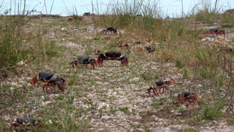 Land-crab-migration-across-a-grassy-area-in-Cuba