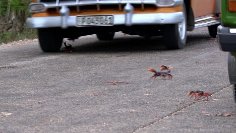 Land-crab-migration-across-a-roadway
