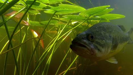 Unterwasseraufnahme-Eines-Florida-Gar-Und-Big-Mouth-Bass-In-Einem-Sumpf-Oder-See