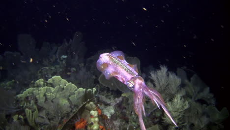 A-reef-squid-underwater-at-night