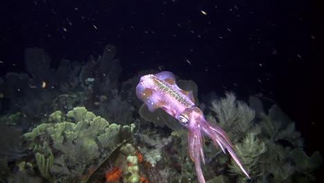 Un-Calamar-De-Arrecife-Bajo-El-Agua-Por-La-Noche